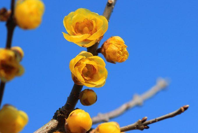 「蝋梅」の画像検索結果