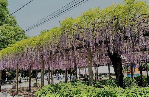 関東 藤 季節 見頃 おすすめ 穴場スポット