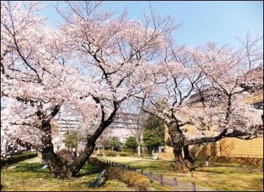 お花見 2018年 関東 東京 穴場 桜  名所 夜桜  スポット