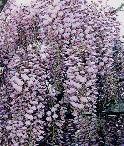 天王川公園 藤祭り 尾張津島 期間 時間 アクセス 駐車場 屋台