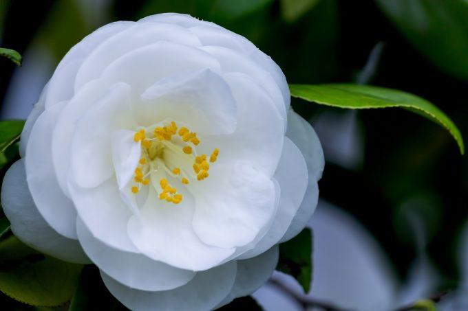 椿 花 言葉 白
