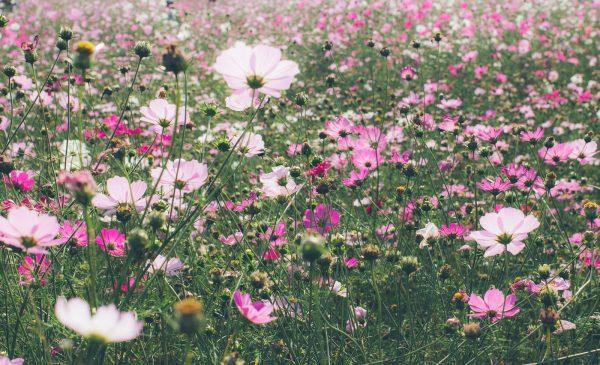 秋桜の花言葉!白・ピンク・赤・黄・オレンジ・黒色等花束添えて!