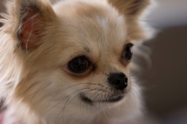 室内犬の夏の暑さ対策グッズ!エアコンなしで留守番や扇風機は有効?
