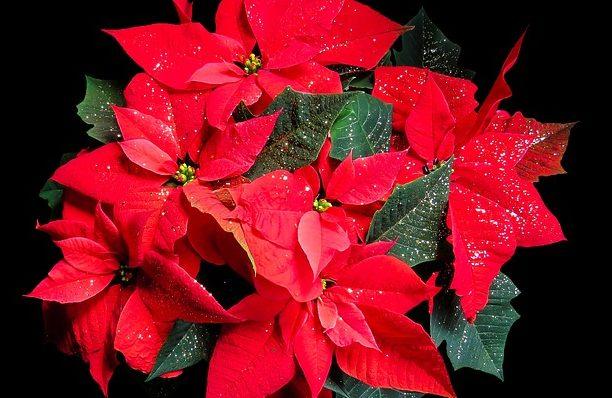 ポインセチアの花言葉(赤・白・ピンク)!何故クリスマスに飾るの?