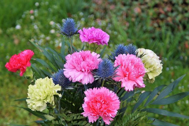 カーネーションの花言葉!赤・ピンク・白・紫・青・オレンジ・黄色