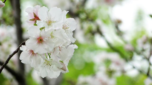 お花見 関西 桜 名所 ランキング 穴場