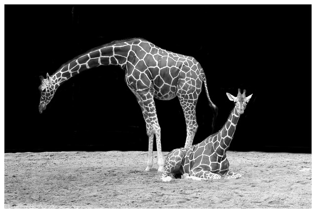 giraffe-50724_640