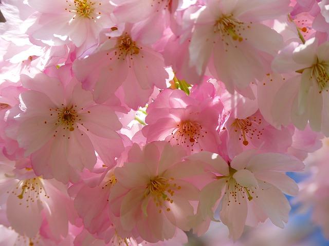 桜の花言葉は?染井吉野や枝垂桜と八重桜等の種類別に開花時期一覧