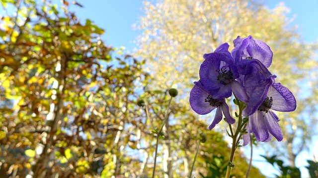 monkshood-495012_640
