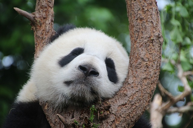 上野公園パンダの赤ちゃんの公開日はいつから?性別と名前は何に!