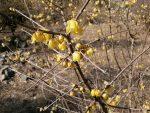 蝋梅 ロウバイ 香り 花言葉 とは 黄梅 違い 種類 開花時期