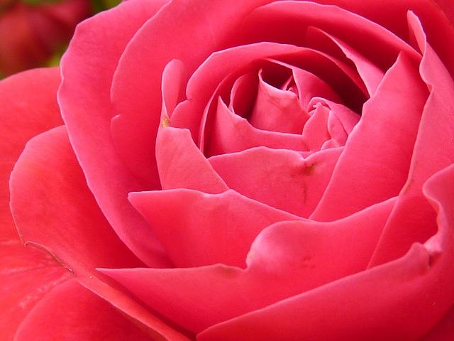 rose-7771_640
