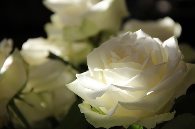 roses-108132_640