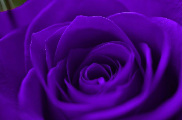 roses-277517_640