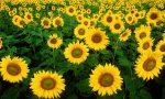sunflowers-1180973_640