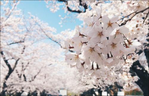 お花見2018年【関東】東京の穴場の桜の隠れ名所や夜桜スポットを紹介!