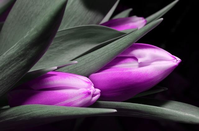 tulip-123794_640