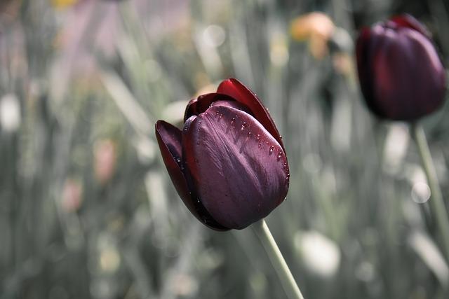 tulip-670643_640