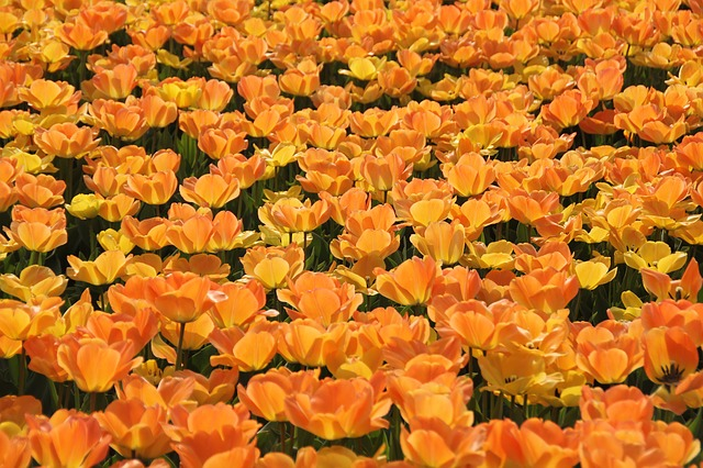 tulips-10296_640