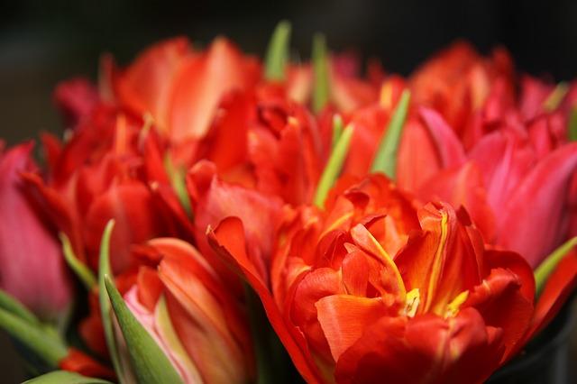 tulips-167711_640