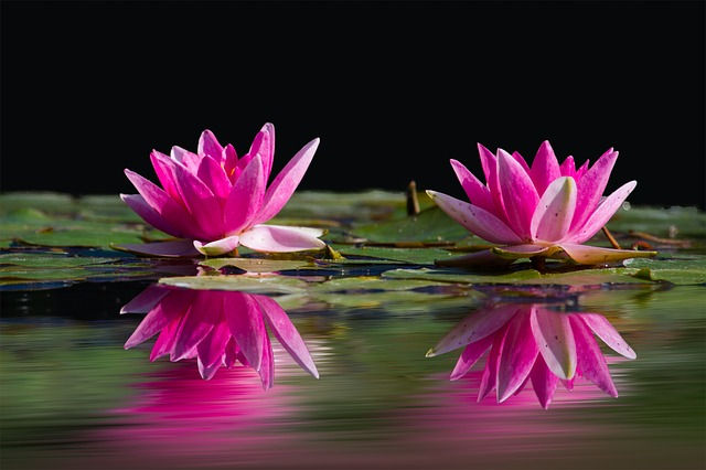 water-lilies-481984_640