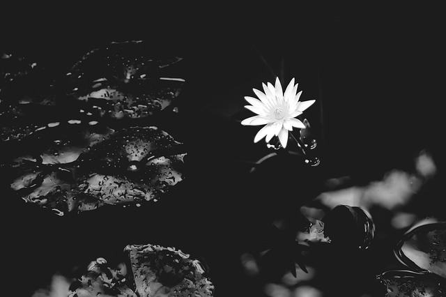 water-lily-1015215_640
