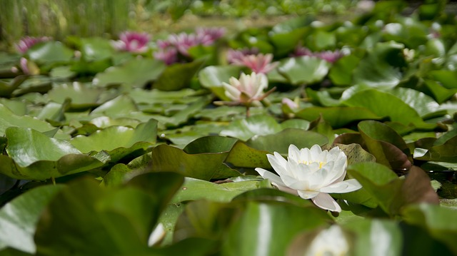 water-lily-175962_640